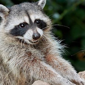 Raccoon 899~Q.jpg