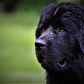 What's that over there? by Brad Lehigh - Animals - Dogs Portraits ( newfoundland, dogs, dog )