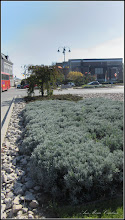 Photo: Lavandă (Lavandula) - din Piata 1 Decembrie 1918 - 2016.10.10