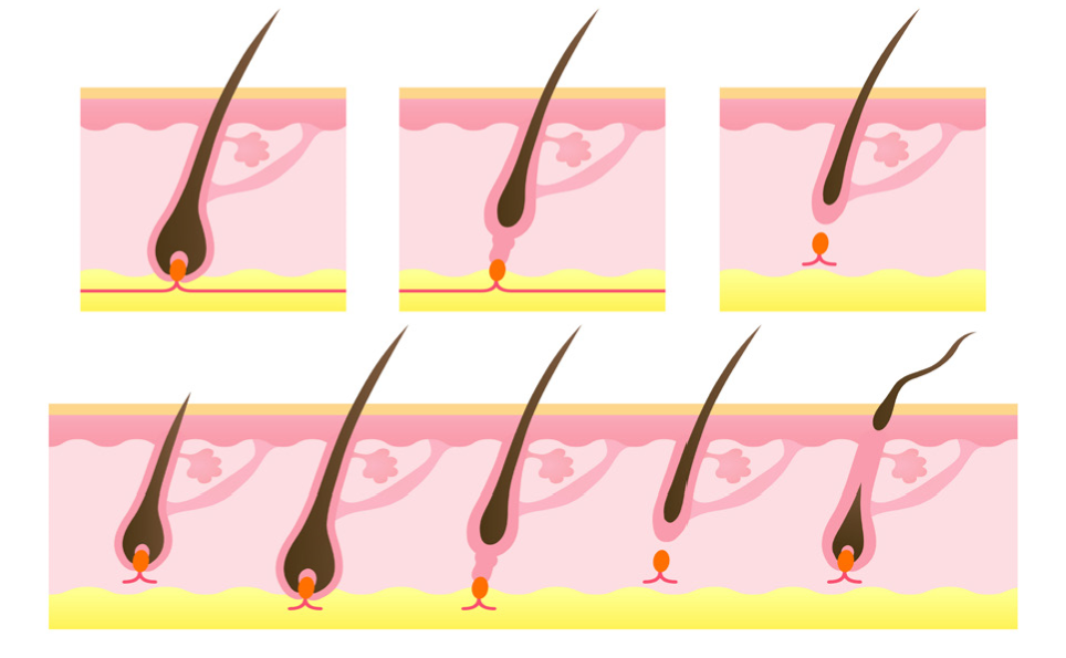 The Stages of Hair Growth