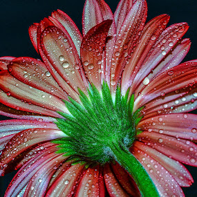 by Vishal Bhatnagar - Flowers Single Flower (  )