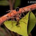 Australian bull ant