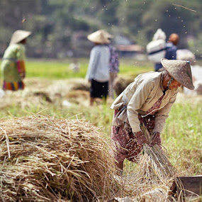 rice harvest by Asep Dedo - News & Events World Events
