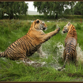 Watch it hey by Romano Volker - Animals Lions, Tigers & Big Cats (  )