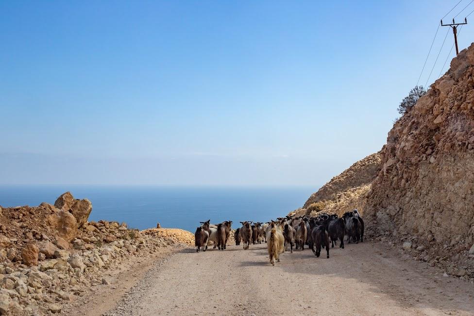 samochodem po Omanie, kozy na drodze