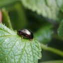 gold metallic leaf beetle
