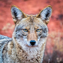 Soulful Eye's by Tomas Rupp - Animals Other Mammals ( coyote, animals, carnivorous, nature, wildlife, animal,  )