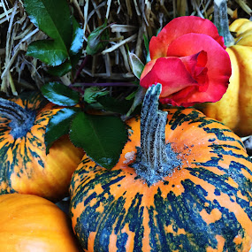 Pumpkins and a rose by Heather G - Nature Up Close Gardens & Produce