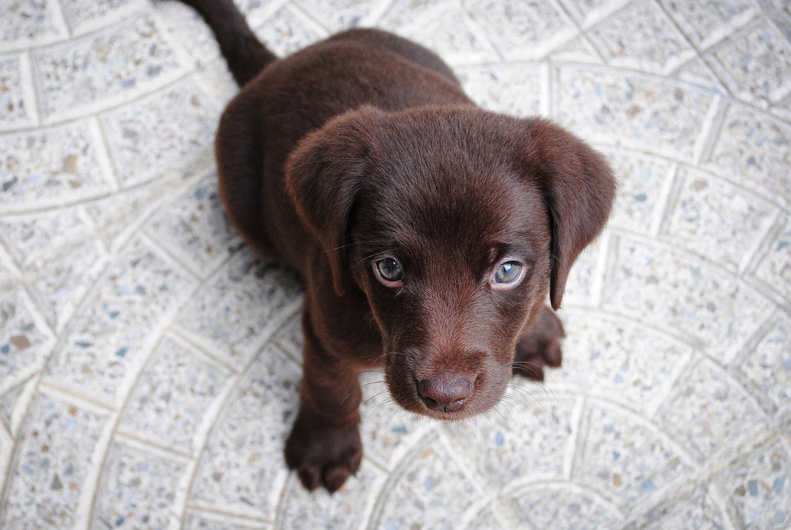 Small brown puppy sitting on grey floor and waiting for command