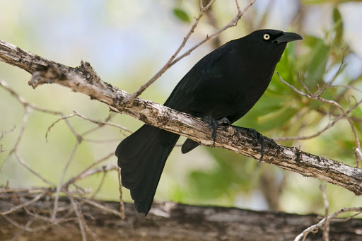 grenada-cling-cling-grackle.jpg - A common grackle, called a cling-cling by the locals, at Goat Island in Grenada.
