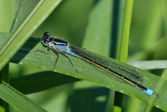 Photo: Große Pechlibelle (Ischnura elegans) 1