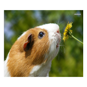 Guinea Pig Communicator