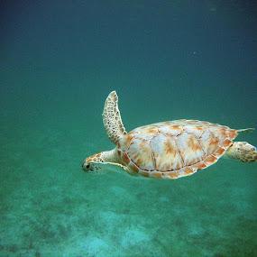 Turtle Tag by Megan Richardson - Animals Sea Creatures ( water, shell, animals, vacation, snorkel, swim, sea, wildlife, ocean, turtle, swimming )