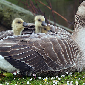 Under the Wing by Yvette O Beirne - Novices Only Wildlife ( bird, gosling, malard, geese, goose )