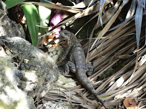 Photo: ještěrka nám dává sbohem před odletem na Kubu. možná to byl von, Halvíku!