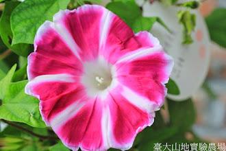Photo: 拍攝地點: 梅峰 拍攝植物: 朝顏 拍攝日期: 2014_08_18_FY
