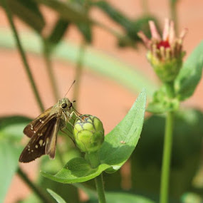 Pollination in process by Nishtha C - Animals Insects & Spiders ( #butterfly, #pollination, #insect, #nature, #green )