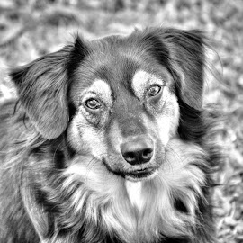 Arn't I pretty momma? by Rebecca Rusnak - Animals - Dogs Portraits ( sitting, girl, dogs, black and white, portrait )
