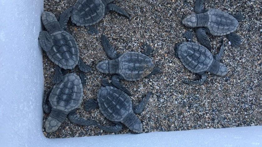 Las tortugas rescatadas en las playas de Macenas.