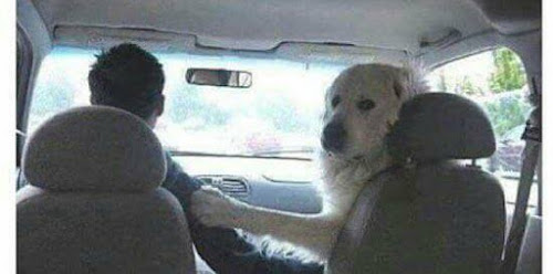 Top 12 Funny Memes Of Dog S In Cars Tail Threads