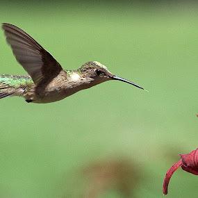 Dinner Time by Anita Frazer - Animals Birds ( bird, female, hummingbird, ruby-throated, animal,  )