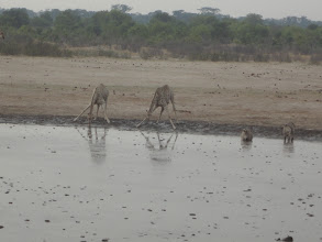 Photo: Giraffes and zebras taking a sip together