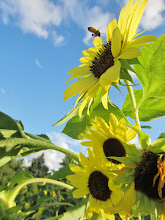 Photo: Bee flying towards bright sunflower at Cox Arboretum and Gardens of Five Rivers Metroparks in Dayton, Ohio.