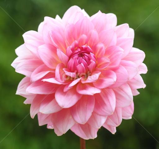 Pink Lady Single Flower Flowers Pixoto