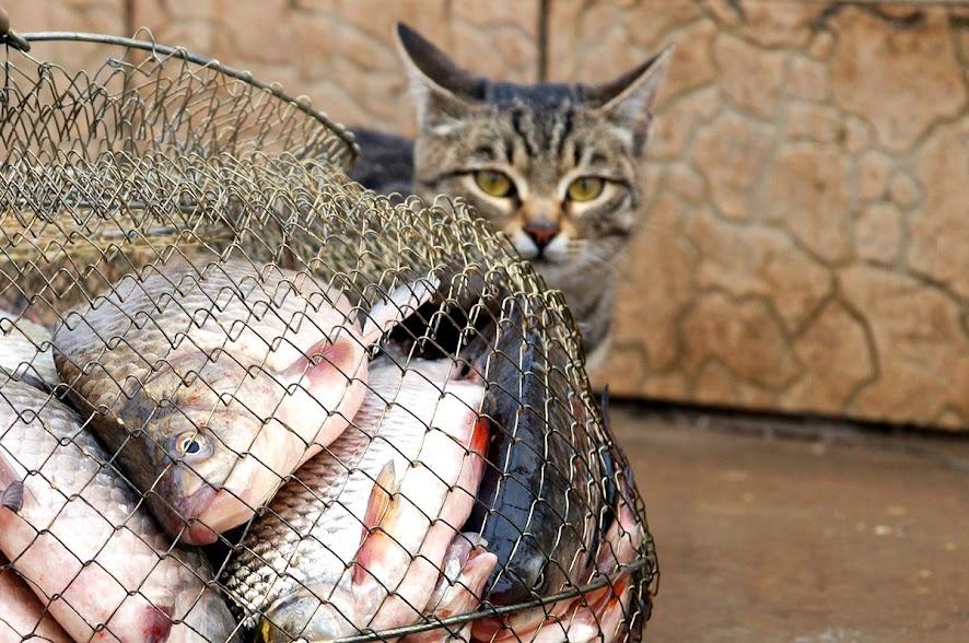 Камышовый кот на Нижней Волге