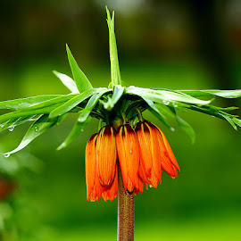 Fritilliaire orange by Gérard CHATENET - Flowers Single Flower