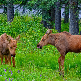 Not nice to stick your tongue at your sister by Tina Marie - Animals Other ( wildlife, baby moose,  )