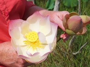 Photo: Close-up of lotus flowers