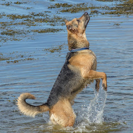 Rocky by Malcolm Hough - Animals - Dogs Playing ( playing, dog, water, splash,  )