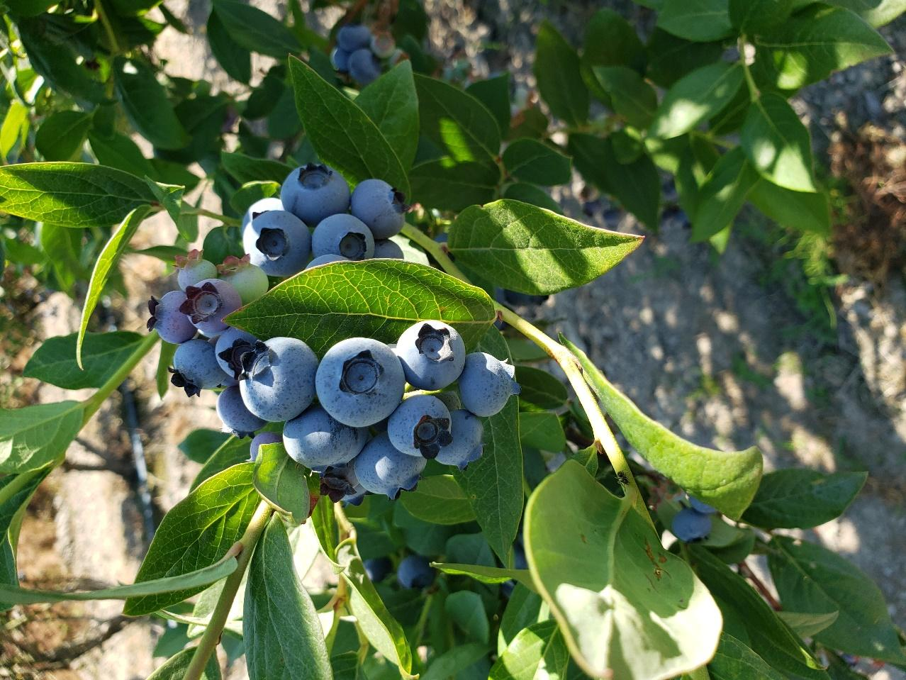 A cluster of blue berries on a plant  Description automatically generated with low confidence