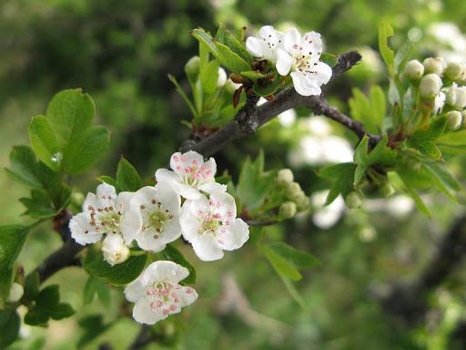 Les cerisiers en fleurs à l'Esclériade chambres d'hôtes à Entrechaux