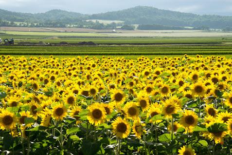 黄色のひまわりと緑の稲と白い蕎麦畑と。。。