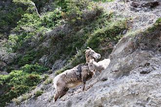 Photo: Bighorn-Sheep am Highway 16