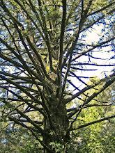 Photo: Tree of Many Arms