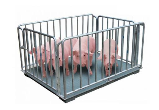 Minh Phúc tự tin cung cấp cân gia súc, động vật chất lượng