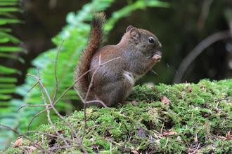 Photo: Eichhörnchen im Goldstream Provincial Park