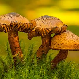 Three fungis by Peter Samuelsson - Nature Up Close Mushrooms & Fungi ( mushroom, fungi )