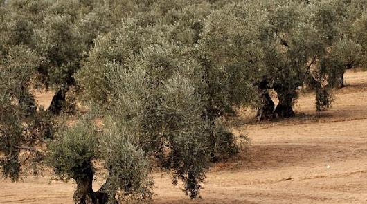 Agricultura dispone de una APP para controlar y vigilar la xylella fastidiosa