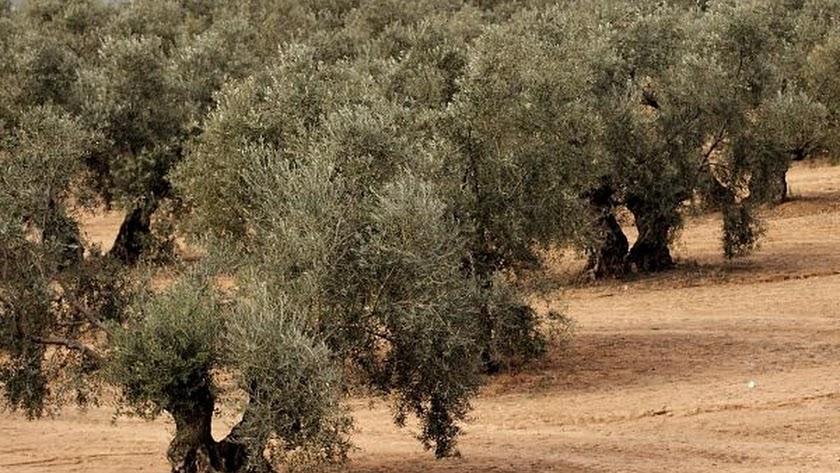 Fotografía de olivos.