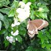 Canopus swallowtail