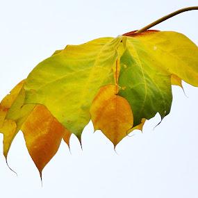 Colour Splash by Arsalan Sandhila - Nature Up Close Leaves & Grasses ( beautiful, color, autumn, leaf, splash,  )