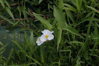 Photo: Arrowleaf flowers (Sagitarria sp.)