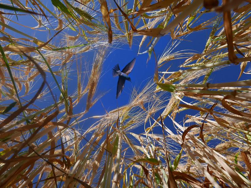 Gruccione sul grano  di gnuc
