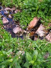 Photo: Brook Saxifrage and Obrien Creek in the Little Belts