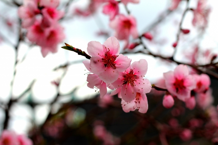Fiori di Pesco fiori di Lilla..... di GianMarioAnfosso