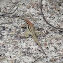Spix's whiptail